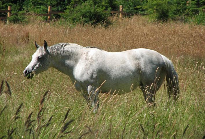 Ir paard