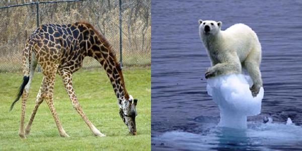 evolutie bear-giraffe