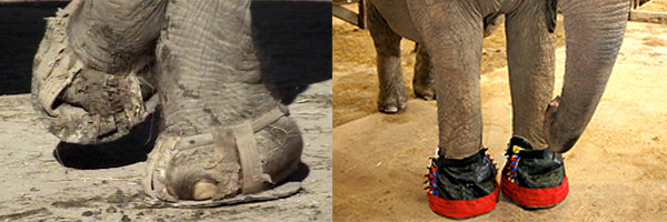 evolutie olifant